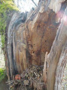 Der abgebrochene Ast hat eine Baumhöhle mit einem Nest freigelegt