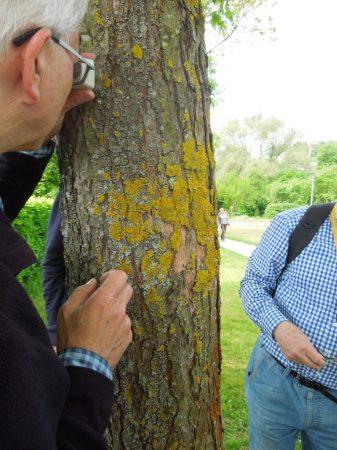 Flechten finden sich an Bäumen ...