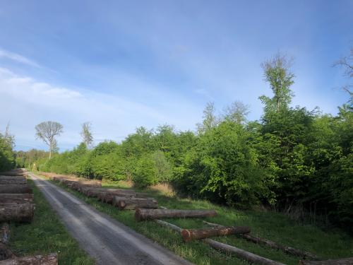 Abbildung 2: Ehemaliger strukturreicher mehr als 160 Jahre alter Waldmeister-Buchenwald (ehemals sehr guter Erhaltungszustand, nur sehr wenige Überhälter sind noch vorhanden, ehemaliges Fortpflanzungs- und Nahrungshabitat der Bechstein-Fledermaus), beim Wertholzplatz nördlich Maulbronn, Staatswald FFH-Gebiet Stromberg, Foto: BUND Mai 2021